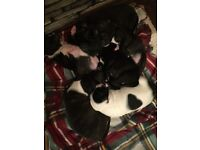 Stafforshire bull terrier puppies