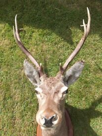 Antique - taxidermy stags head - very life like