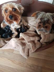 Yorkshire terrier puppis. Left 1girl, 1boy.