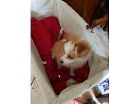 A very beautiful little Pomeranian puppy