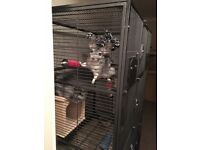 2 grey chinchillas and large cage