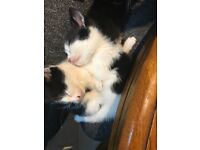3 Beautiful Black & White Kittens for Sale
