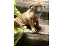 Newfoundland x GSD puppies for sale