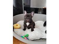 Kc reg frenchbulldog puppy.