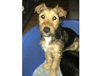 Lakeland terrier x jack Russell for sale