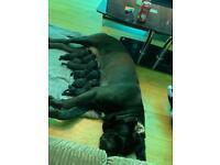 🦍Cane corso's pups 🦍