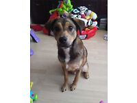 9 month old Staffie cross ***update***