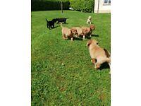 KC Reg Labrador Retriever pups