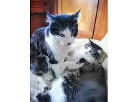 2 Maine coon X Cats