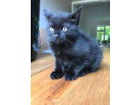 Silver black boy kitten