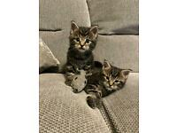 Maine coon Bengal baby girl available