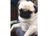Beautiful pug puppies, ready now