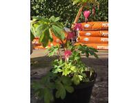 Perennial Plant - Dicentra/Bleeding Heart