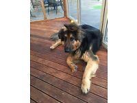 Male German Shepherd Dog for Sale