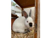 Baby rabbits x 2 bucks (males)