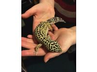 Female Laopard Gecko