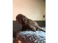 Labrador In Essex Dogs Puppies For Sale Gumtree