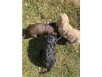 3 beautiful cockapoo puppies