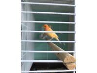 A pair canaries