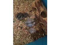Baby Russian dwarf hamster £5