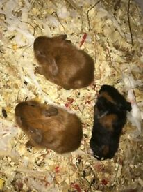 3 female 3 male guinea pigs large hutch available