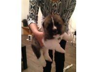 6 Chunky Pedigree American Akitas Puppies