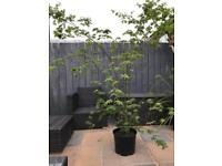 Japanese maple garden plant