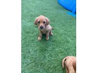 Fox Red Labrador Puppies **Only 1 bitch left**