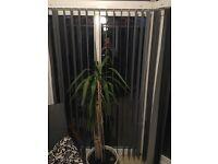 Four feet yucca plant