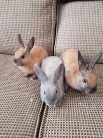 Three hand reared home babies rabbits