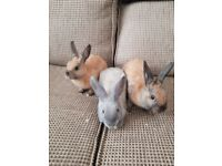 Three hand reared home babies rabbits