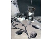 Black & white kittens ready to go!