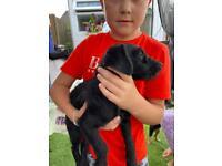 Jack a poo puppy