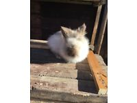Female lion head Rabbit for sale