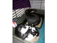 2 3mo old baby buns vacced spayed chiped dbl hutch tons of toys hay food bedding saving 300
