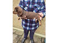 Standard wirehaired dachshund/teckles