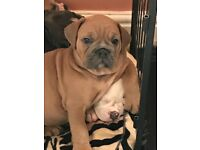 Old Tyme English Bulldog puppies