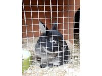 Pure Breed Baby Netherland Dwarf Rabbits for sale