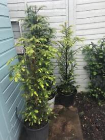 Yew trees for sale