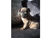 French Bulldog Blue Fawn KC