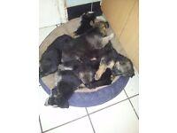 6 beautiful german sheperd puppies for sale