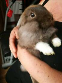 Mini long haired rabbits for sale