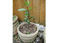 Bay Tree in concrete pot