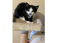 Black /white male kitten. Cute.