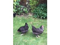 Two beautiful Hens for sale (two for £25)