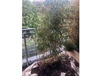 Bamboo Plants. All healthy. 190cm tall.