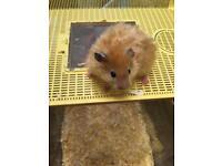 Pedigree Syrian Hamsters