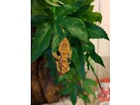 6 baby crested geckos for sale