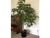 'Weeping Fig' Tree (Ficus benjamina)