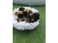 Pug x French bulldog puppies for sale